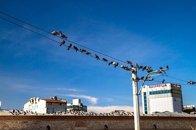 Turkish-Pigeons